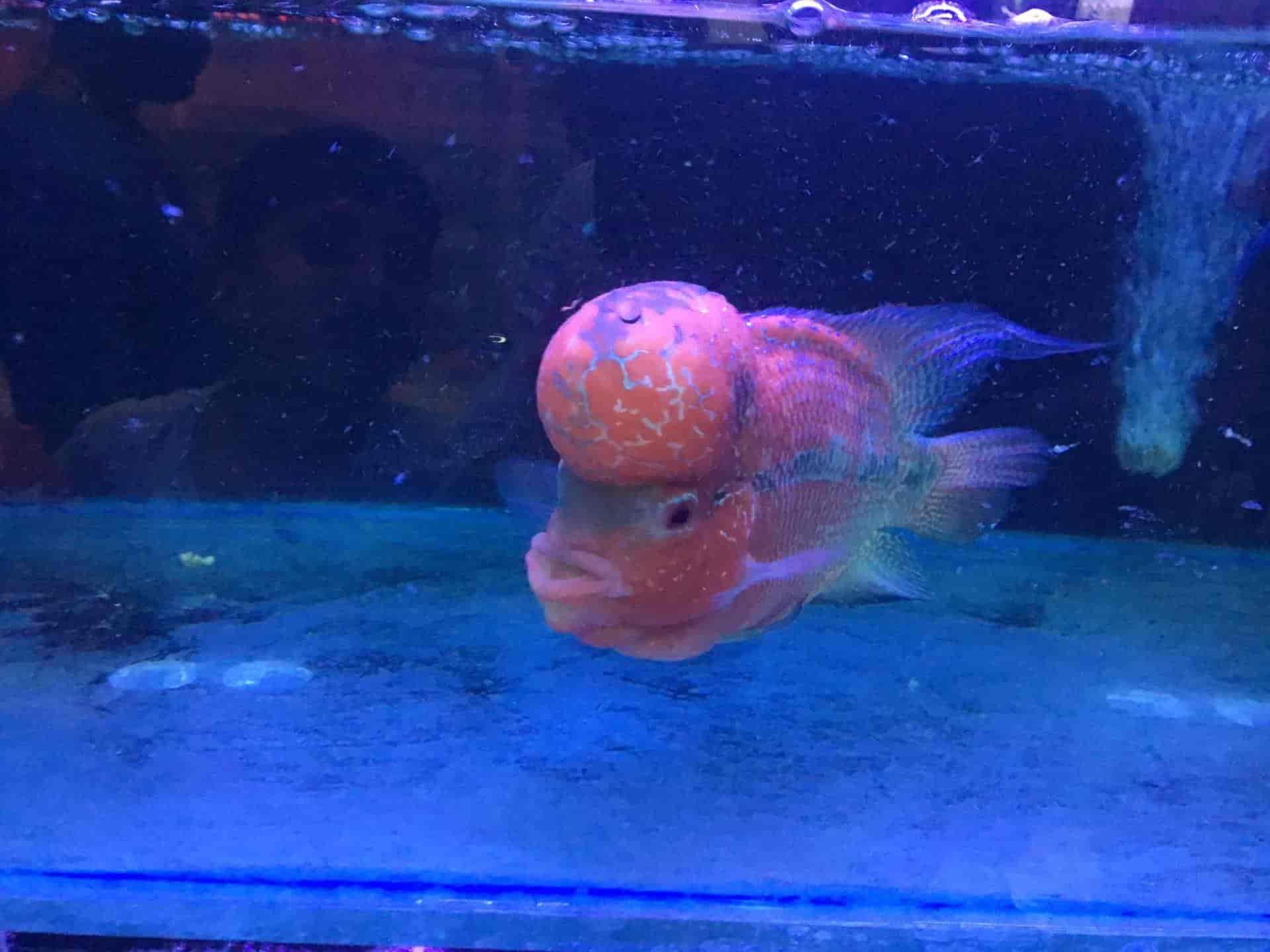 Top Aquarium Head Tail Light Tetra Fish Dealers Near Madivala